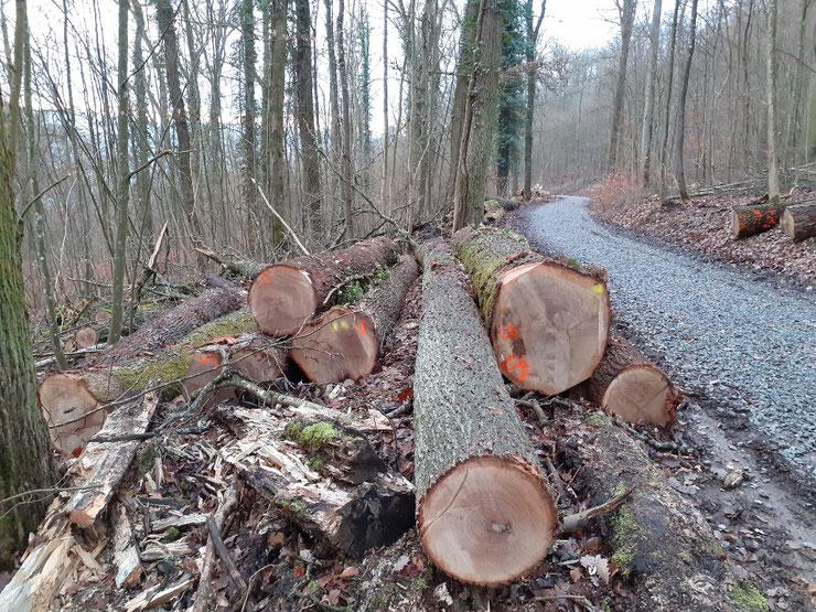 Fällung aus angeblicher Verkehrssicherungspflicht von schützenswerten Biotopbäumen am Hasenpfad