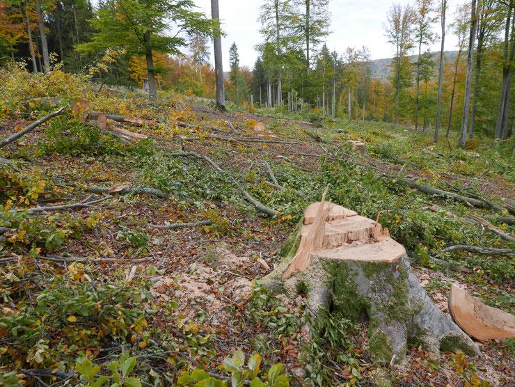 """Trotz Kahlschlagverbot: Flächige Buchenwaldabholzung für """"Waldumbau"""" in Monokulturen von Douglasien. Foto: M.Kunkel"""