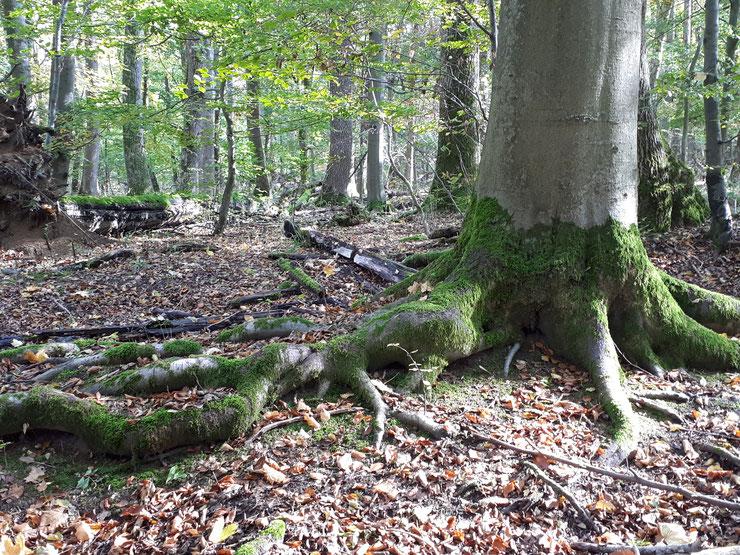 Der Tag des Baumes sollte den Blick die Altbäume lenken - sie sind der Hotspot der Biodiversität in unseren Wäldern und unsersetzliche CO2 Speicher im Klimawandel. Foto: S. Ecker