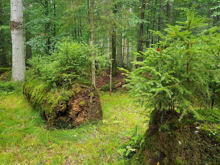 Angrenzend an die bisherige Naturzone soll der fichtenreiche, aber auch tannen- und buchenhaltige Wald in der Brechhäuslau zwischen den Urwaldgebieten Hans-Watzlik-Hain und Mittelsteighütte in die Naturzone eingegliedert werden.