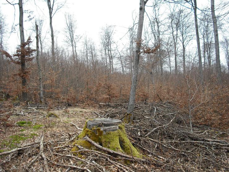 Veraltete Bewirtschaftungsformen wie dieser Buchen-Schirmschlag im Kellerwald (2012) sind auch aktuelle Praxis. Bild: N.Panek