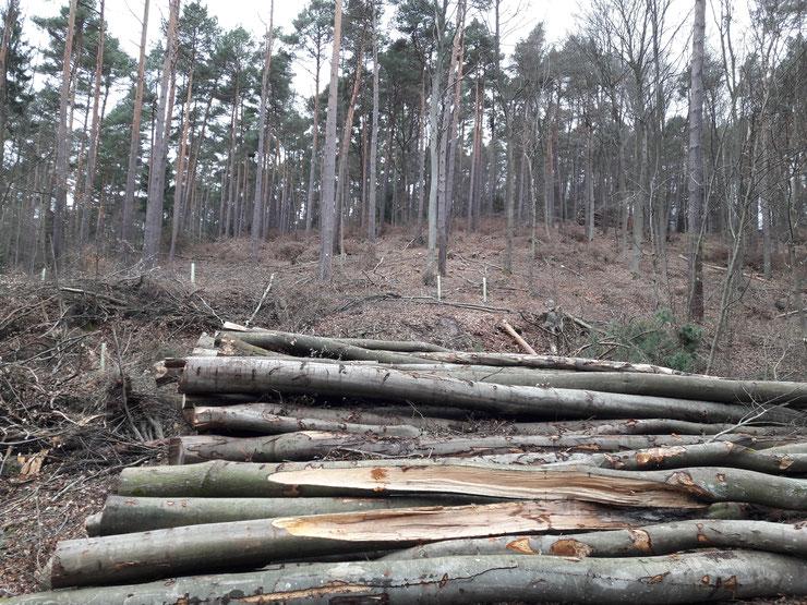 Pfälzerwald, Januar 2020: Hier wurden die dickeren Buchen herausgeschlagen. Auf den entstehenden Kahlflächen wird mit Plastikhülsen nachgepflanzt.