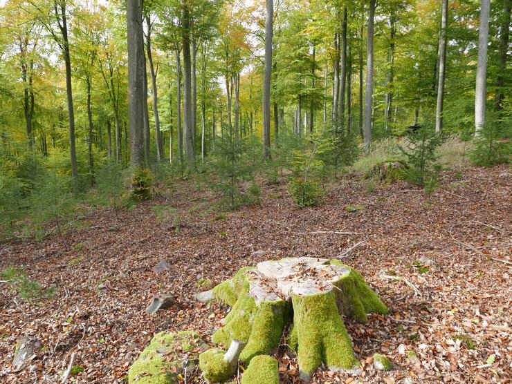 Unterpflanzung von aufgelichtetem Buchenwald mit Douglasien. Foto: M. Kunkel