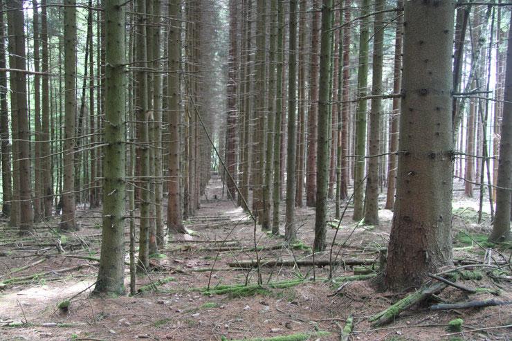 Bildautor Klaus Borger. Brandgefährliche Nadelholzplantagen in Deutschland