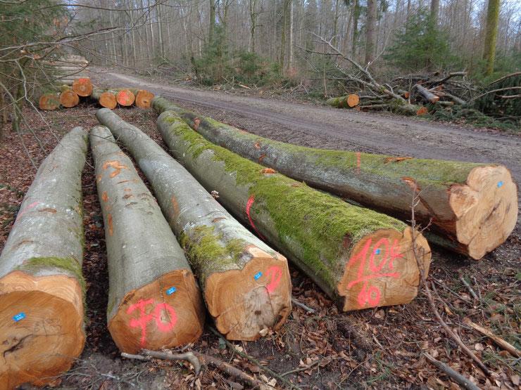 Winter 2019/20: Einschlag gesunder alter Buchen im Haunstettener Forst