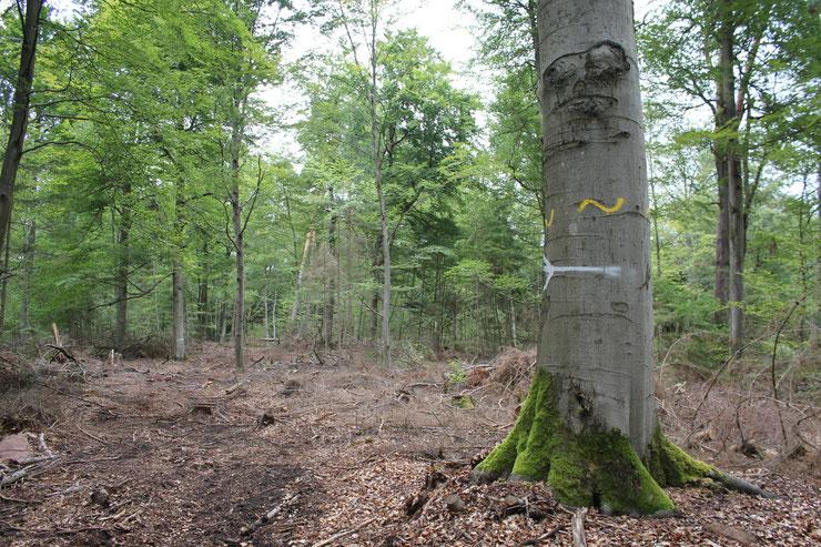 """Buchenwaldbewirtschaftung in RLP 2019 - der Biotopbaum ist """"freigestellt"""" - Freifahrtschein für Sonnenbrand"""