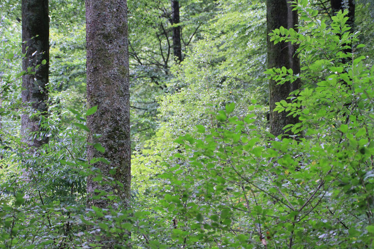 Bildautor Klaus Borger. Naturnaher Laubmischwald