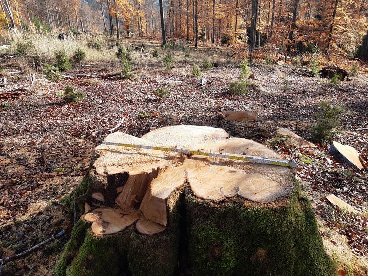 Offensichtlich fährt Forstwirtschaft im Waldsterben 2.0 gerne zweigleisig: Bürger pflanzen, Förster fällen. Foto: B.Kempf