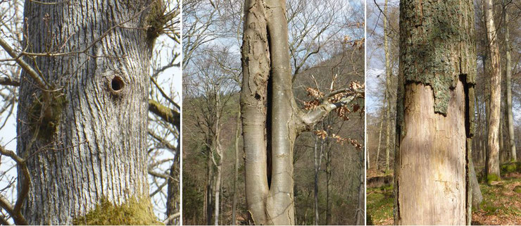 Abb. 2 Höhlenbäume © G. Pfalzer