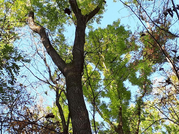 Alte Eschen - selten und Hotspots der Biodiversität! Bild: S. Ecker