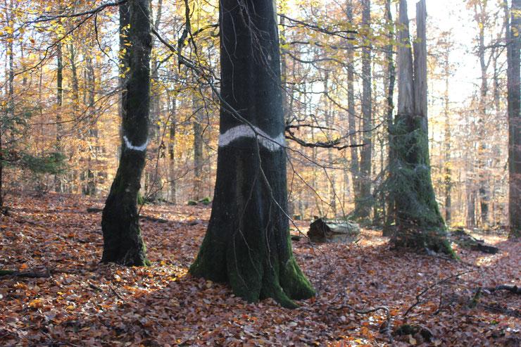Markierte Biotopbäume                  Foto: Susanne Ecker
