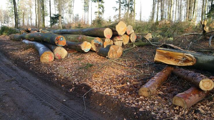 Bucheneinschlag im Pfälzerwald 2020