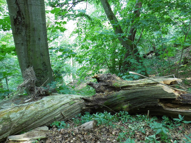 """Urwald-Reliktbestand an der """"Kanzel"""" im erweiterten Nationalpark Kellerwald-Edersee (Foto: N. Panek)"""