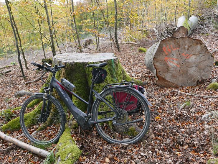Fällung alten Baumbestandes  Foto: Michael Kunkel