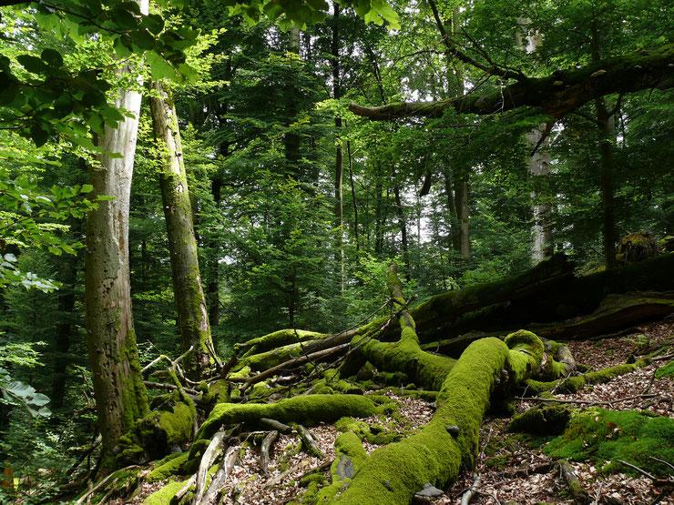 NSG Metzger - Schönheit naturbelassener Wälder als Magnet für Waldliebhaber. Foto copyright: M.Kunkel