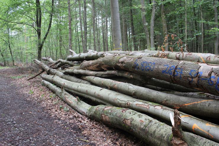 Buchen- und Eicheneinschlag in RLP nach 2 Dürrejahren. Warum pflanzen, wenn massiv im Laubholz geerntet wird? Obwohl der Markt von Nadelholz überschwemmt ist? Export- und Brennholz statt engagiertem Klimaschutz im Staatswald?