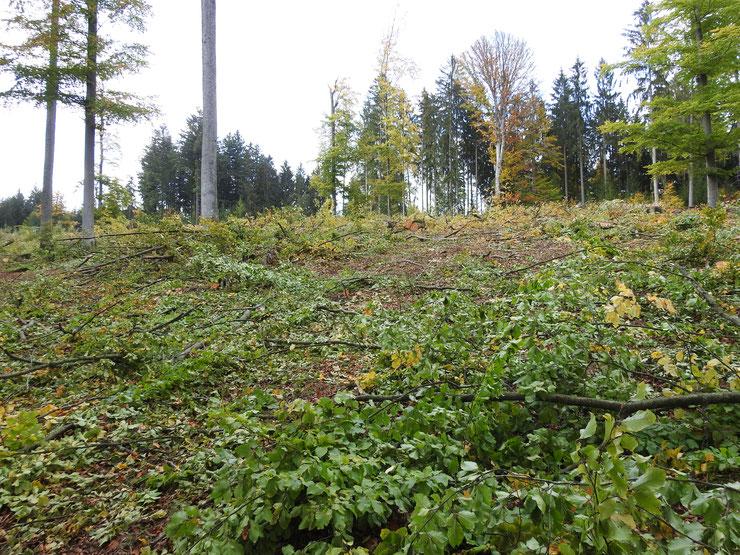 Flächiger Buchenkahlschlag, den es in der nachhaltigen Forstwirtschaft angeblich nicht mehr gibt. Foto: M.Kunkel