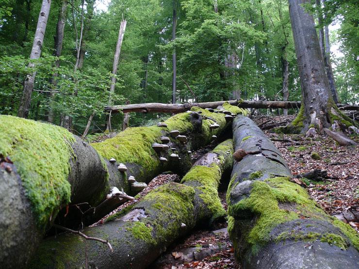 NSG Metzger. Eldorado der Biodiversität durch Totholz. Foto copyright: M.Kunkel