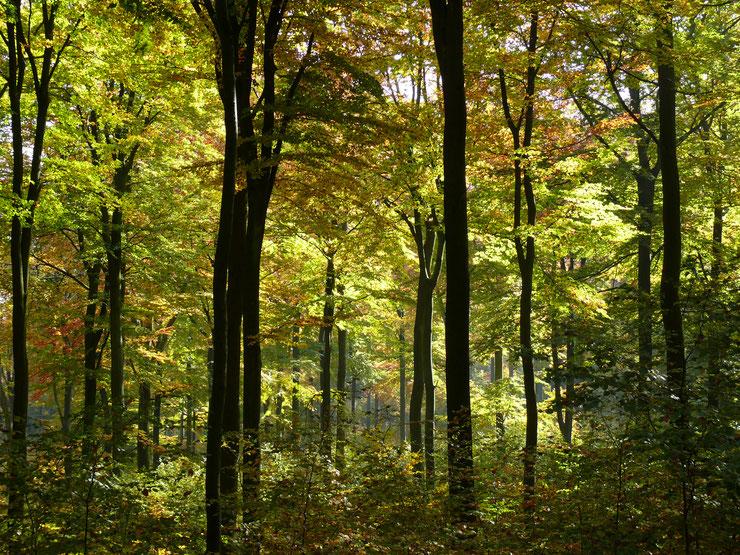 Dichter, schattiger und feuchter Buchenwald mit verschiendenen Altersstufen, den es in Wirtschaftswäldern aufgrund des Schirmschlags nur noch selten gibt. Fotocopyright: M. Kunkel