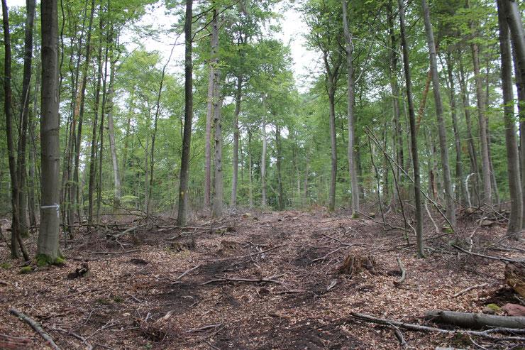 """Aktuell noch """"Gute fachliche Praxis"""" in der Bewirtschaftung der Buchenwälder in RLP: Schirmschlag und starke Auflichtung  2018/19, selbst nach 2 Dürrejahren. Lieferverträge stehen offensichtlich im Vordergrund. Im Klimawandel ist hier Umdenken gefragt."""