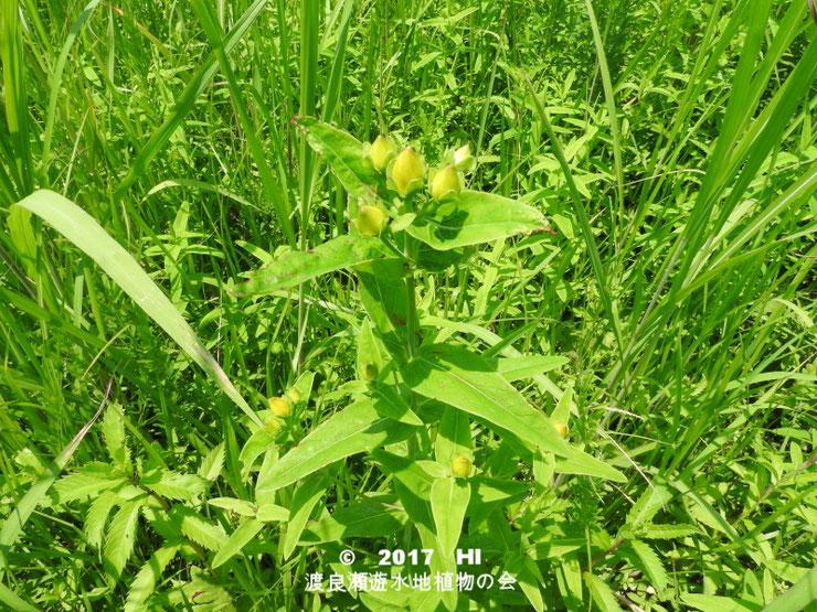 渡良瀬遊水地に生育しているトモエソウの全体画像と説明文書(蕾)