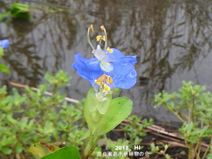 渡良瀬遊水地に生育しているツユクサ(花)の画像