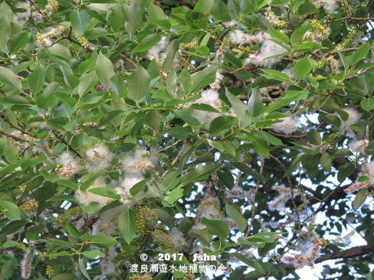 渡良瀬遊水地に生育しているアカメヤナギ(雌花)の全体画像と説明文書
