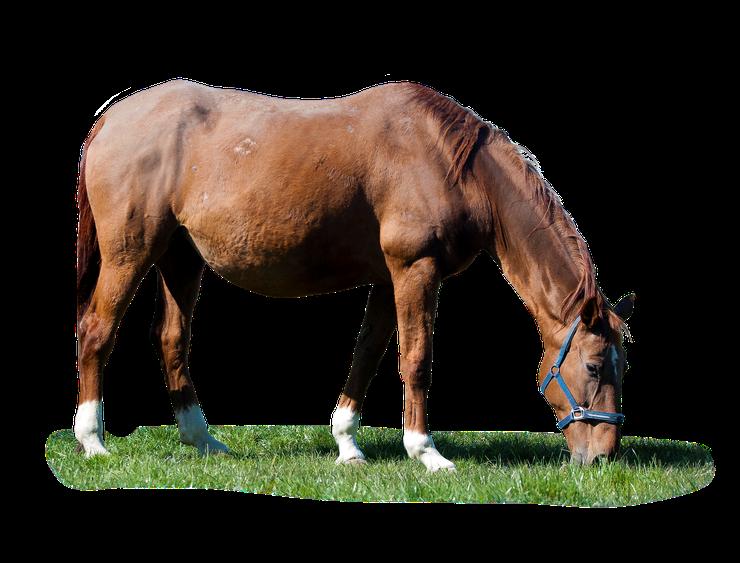 bienfait de la spiruline et de la phycosiamine sur les chevaux cheval de course recuperation masse musculaire