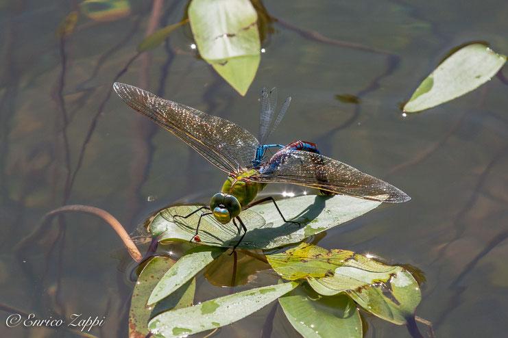 Femmina di Anax Imperator intenta a deporre le uova nella vegetazione acquatica circostante; su di essa si è posata una piccola e incurante libellula appartenente alla famiglia dei Coenagrionidae.