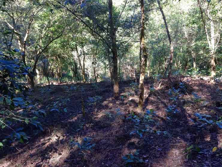 アルヌスの木の下で栽培されているコーヒーの苗木