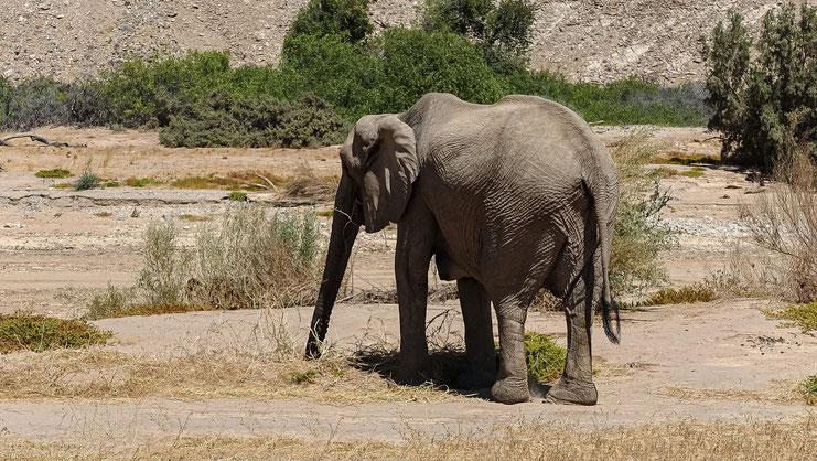 Eléphant du désert, Namibie