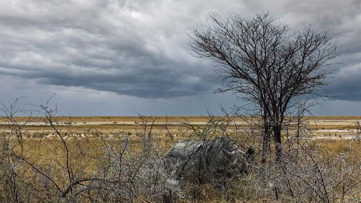 Rhinocéros caché, parc d'Etosha