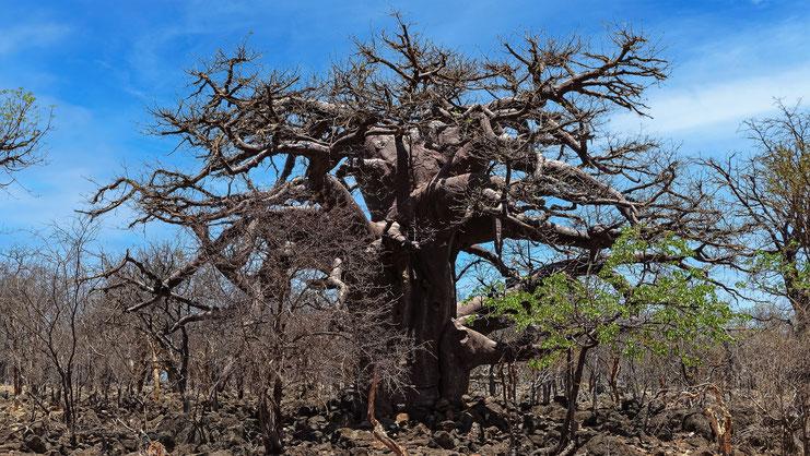 Baobab namibien