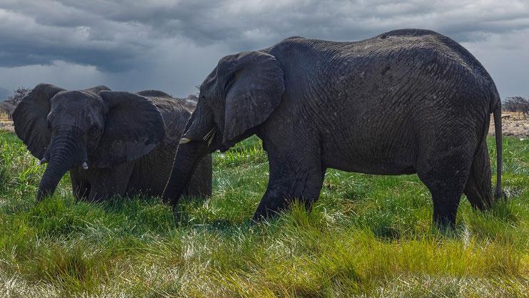 Eléphants au Namutoni Camp, Namibie