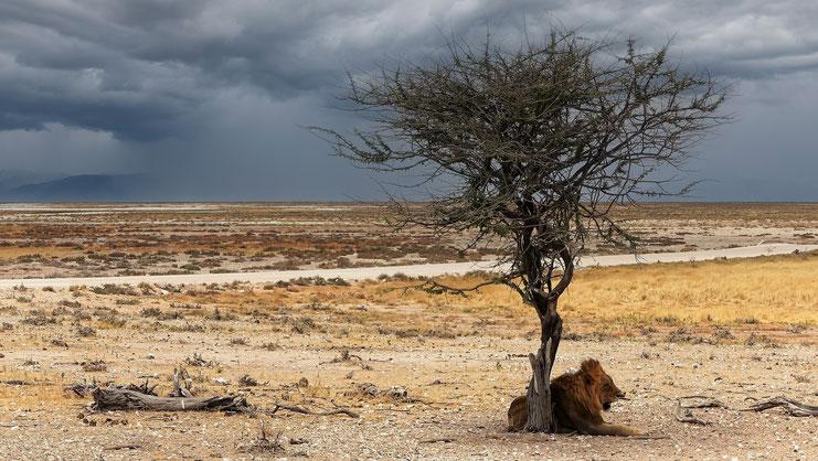 Lion âgé, parc d'Etosha