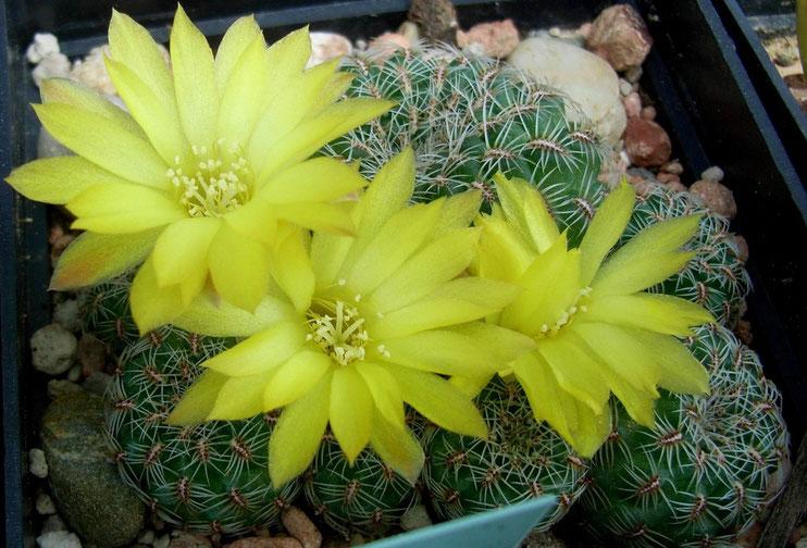 Sulcorebutia elisabethae VZ 244