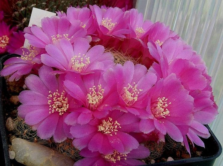 Sulcorebutia albissima HS 13