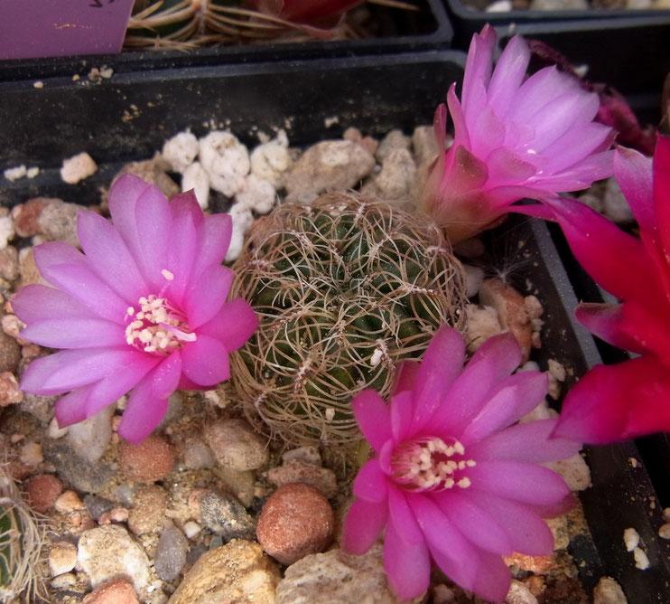 Sulcorebutia crispata L 394