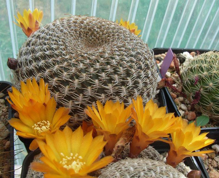Sulcorebutia arenacea v arenacea HS 30