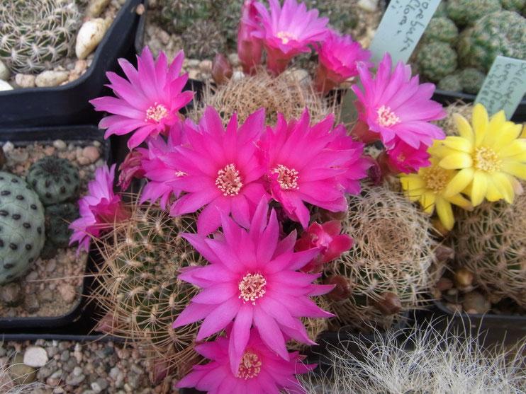 Sulcorebutia breviflora v lauii L 314 magenta