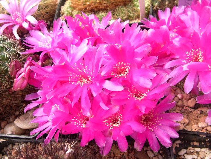 Sulcorebutia albissima HS 24
