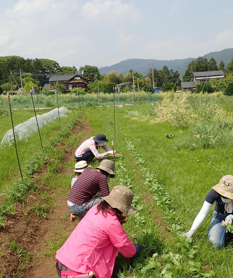 無農薬・自然栽培の株の間引き。「首都圏から日帰りの農業体験・さとやま農学校」の体験農園にて