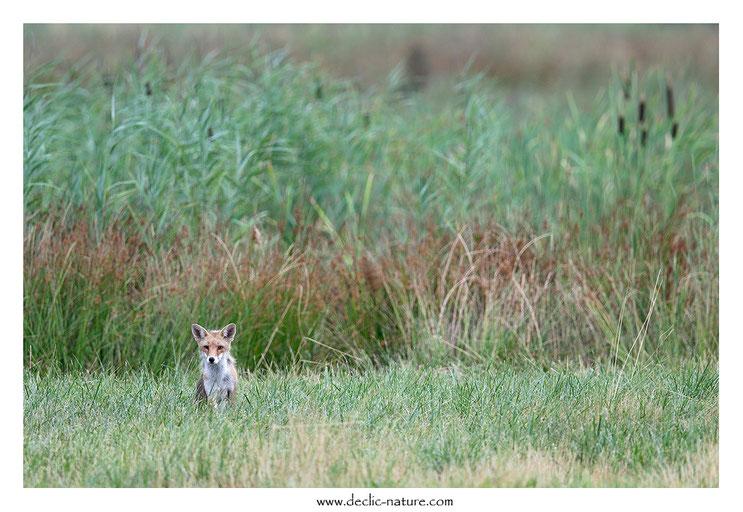 Renard roux - Vulpes vulpes - Red Fox (réf. PdM 2015_176)