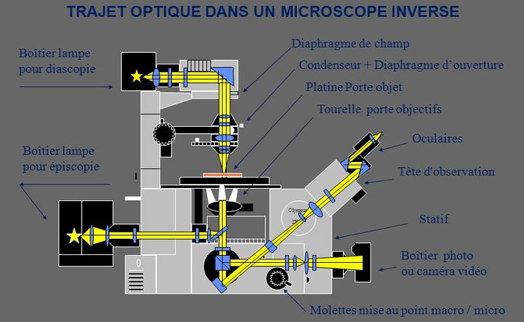 Description des éléments d'un microscope inversé document Claude Gonon Microscopie