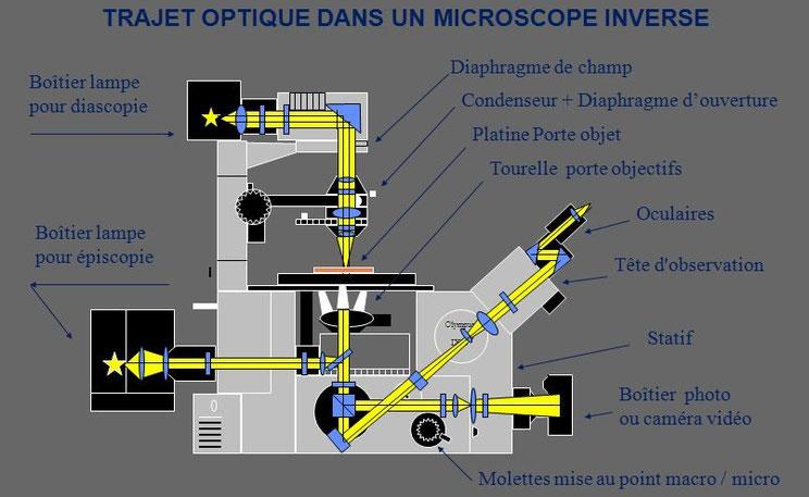 Description des éléments d'un microscope inversé document Claude Gonon Microscopie