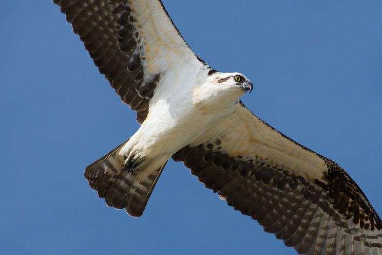 Causeway Islands Park; Osprey; Nikon D500 + AF-S 200-400 @ 380mm
