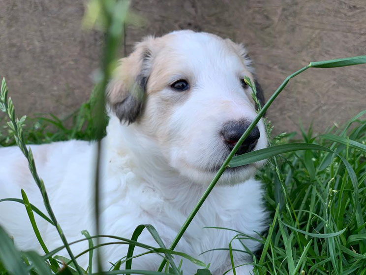 Der Aristokrat unter den Windhunden-der Barsoi! Wir züchten seit 19 Jahren mit Herzblut Barsois und Scottish Deerhounds! Gelegentlich haben wir hübsche Barsoi Welpen!