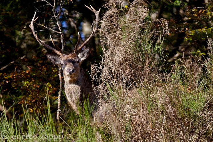 Un bellissimo incontro nel P.Nazionale delle Foreste Casentinesi: il cervo con il suo harem di femmine in una piccola radura in mezzo al bosco.