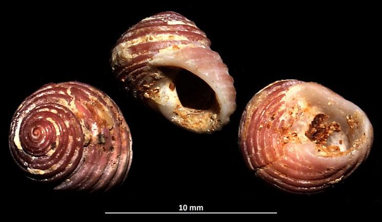 Homalopoma sanguineum, Sant'Agostino (Civitavecchia, RM)