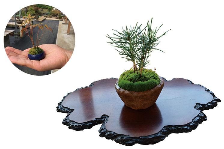 実生から育てた松柏や国産赤玉土など、確かな素材を使って生命力あふれる盆栽をつくります。手のひらサイズのかわいさも「ミニ盆栽」の魅力です。